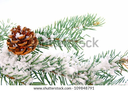 Pine branch in winter / winter time