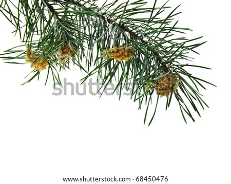 pine branch isolated on white #68450476