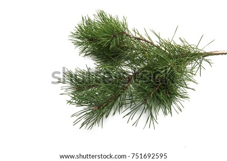 pine branch isolated on white background #751692595