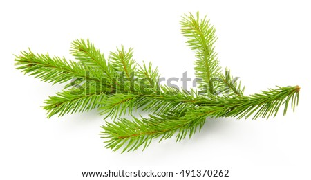 Pine branch isolated on white background. Top view. #491370262