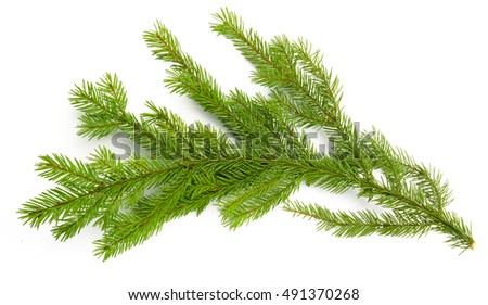 Pine branch isolated on white background. Top view. #491370268