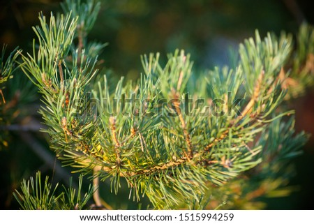 Pine branch. Pine branch close up. Pine branch with green needles in the sun. Beautiful pine branch photo background, concept blank with copy space