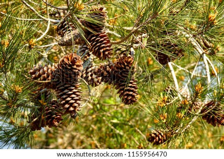 pine branch with cones #1155956470