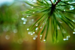 pine branch with drops on pins and needles on the background of nature in spring