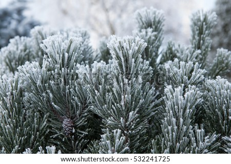 Pine branch with long needles in the frost. Christmas tree with pine cones, snow.