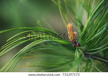 Pine branch with needles and pinecones closeup on blurred background. Macro, selective focus. #731297173