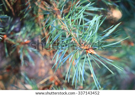 Pine branches close-up, abstract background. #337143452
