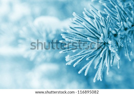 Pine branches covered with hoarfrost #116895082