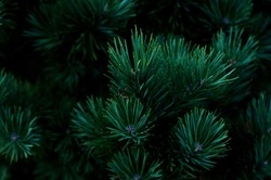 Pine branches of coniferous needles background close-up. Dark photo