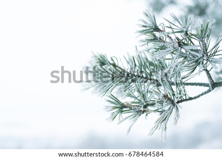pine branches with ice and snow, winter nature background #678464584