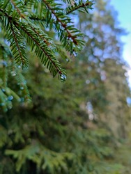 Pine branches with water drops. Evergreen forest. Сoniferous trees after the rain.