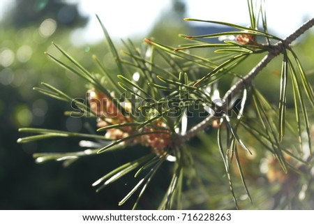Pine brunch. Pine. Pine background.Blooming pine.  #716228263