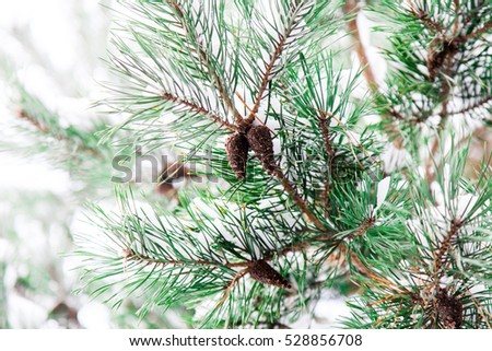 Pine christmas tree winter branch in snow with bumps #528856708