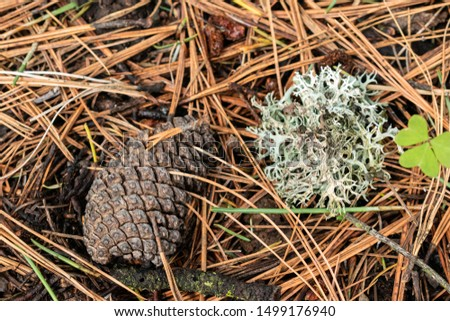 Pine cone and lichen on the floor at the woods. Details on the woods #1499176940