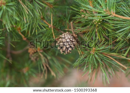 Pine cone. Beautiful pine cone close-up on a background of green needles. Young brown pine cone. Pine decorations christmas concept.