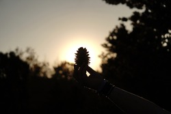 Pine cone being held infront of the sun with the silhouette of the trees