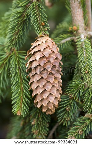 pine cone from picea abies frohburg