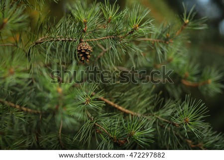pine cone on a branch #472297882