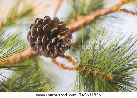 Pine cone on pine tree,Christmas party ans happy new year celebration #745631836