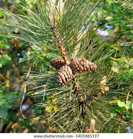 Pine cone on the evergreen pine three branch. Fir-tree, conifer, spruce close up, blurred background #1401885197