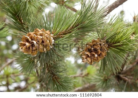 pine cone with drops of resin and needles