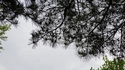 Pine cones and pine needles on pine trees. The Rainy day, in a misty parks.