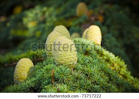 Cedar Pine Cones Pine Cones on a Cedar of