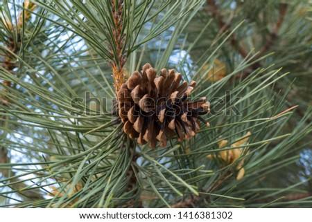 pine cones on pine trees, #1416381302