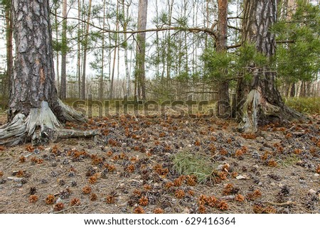Pine cones on the soil in the wood in the wild nature in sunny day, Latvia