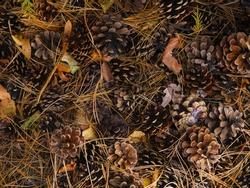 Pine cones twigs and orange leaves