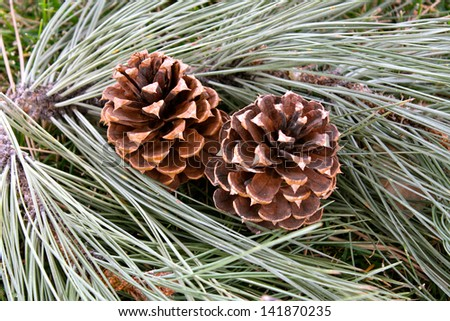 Pine Cones Two brown pine cones nestled in fresh long pine needles.