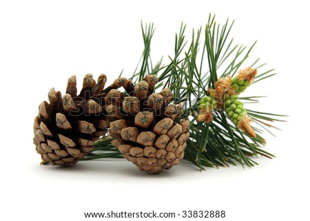 Pine cones with conifer leaf on white background