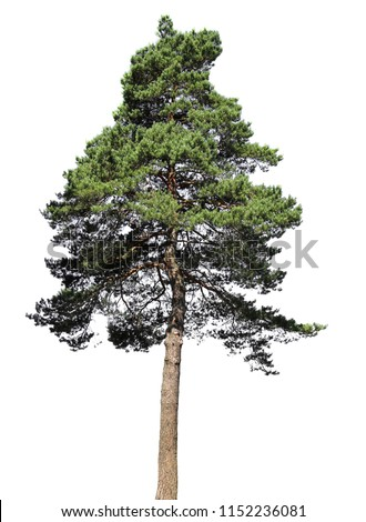 Pine, conifer tree, isolated on white background