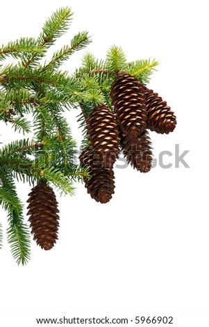 Pine Corns on Branch Isolated