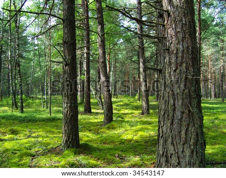 Pine forest. - stock photo