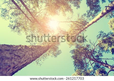 pine forest at sunny day....