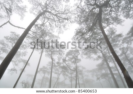 Pine forest cover with mist