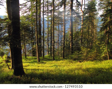 Pine forest early in the morning, Mt. Durmitor, Montenegro #127493510