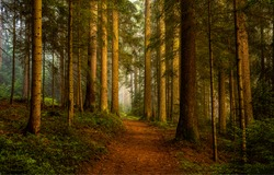 Pine forest grove trail view. Pine forest scene. Trail in pine forest. Pine forest trees