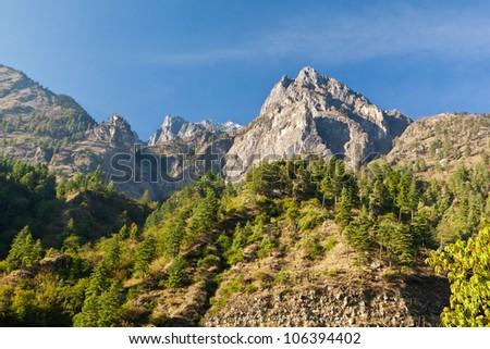 Pine forest in Annapurna trek, Himalaya, Nepal