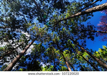 Pine forest in North of Thailand
