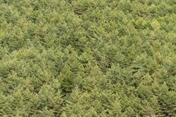 Pine forest in Sierra Nevada, the tree are on the side of a mountain, the trees are green