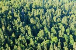 Pine forest of the Swiss Jura mountains, Western Switzerland