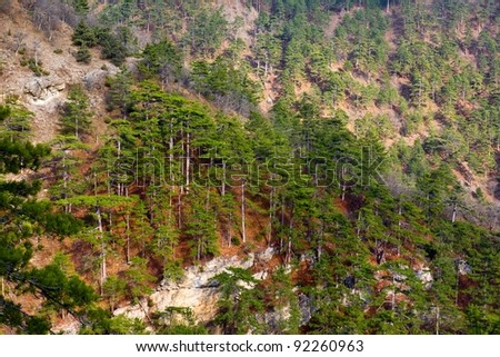 pine forest on a mountain slope