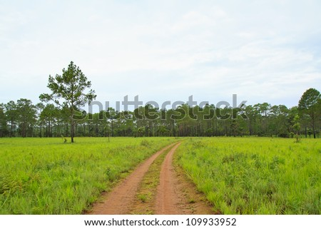 Pine forest, Thailand - stock photo