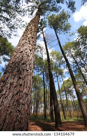Pine forest.Thailand #134104679