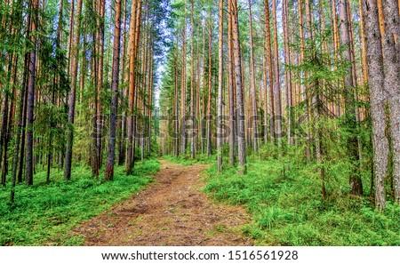 Pine forest trail landscape. Forest trail landscape. Pine forest trail view. Pine tree forest trail landscape