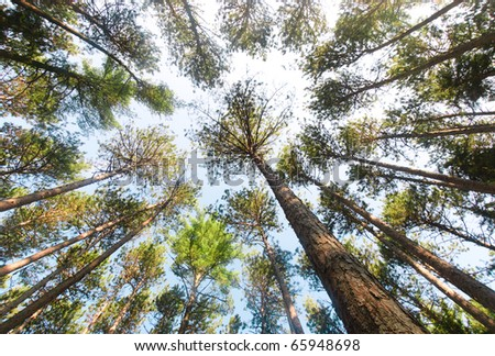 pine forest tree trunks and canopy