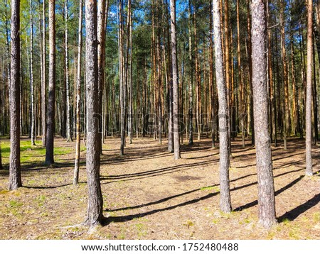 Pine forest trees sunlight shadows. Forest pine trees backround