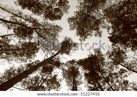 Pine forest, upward view in sepia